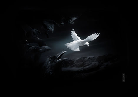 Обои Белый голубь в темном ночном небе в окружении стаи черных ворон
