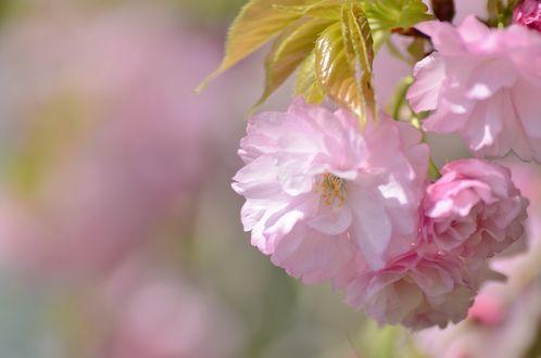 Обои Ветка цветущей сакуры на размытом фоне