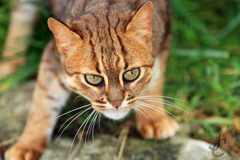 Обои Мордочка полосатого кота, выслеживающего добычу, крупным планом, фотограф Jasmine Curtis