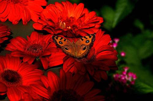Обои Бабочка сидит на красных цветах-герберах, фотограф Svetlana Povarova Ree