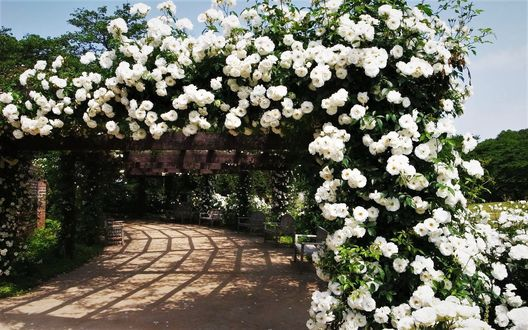 Обои Парковая аллея из арок с белыми розами