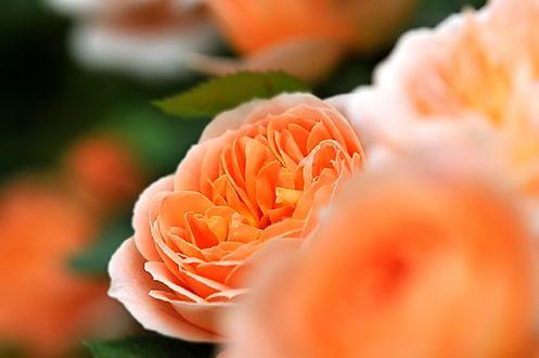 Обои Оранжевые розы на размытом фоне