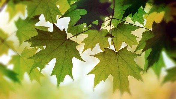 Обои Свисающие кленовые листья