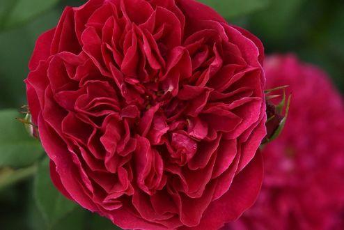 Обои Красная роза, by naruo0720
