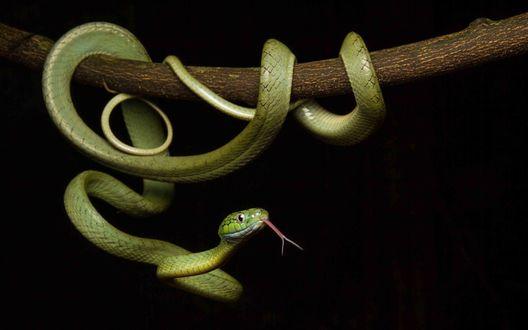Обои Зеленая древесная змея обвилась вокруг ветки дерева и высунула язык, фотограф Jasmine Vink