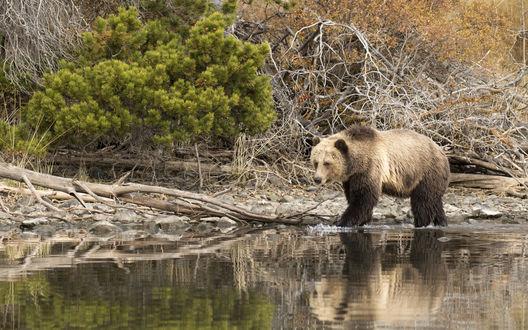 Обои Большой бурый медведь идет вдоль берега водоема под горой, фотограф David Hemmings