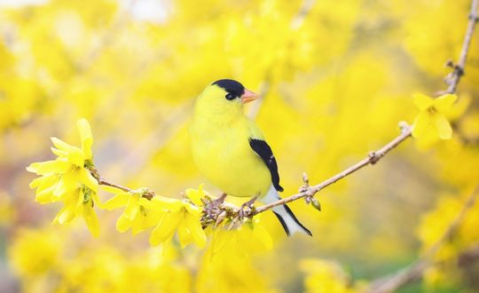 Обои Черно-желтая птица сидит на ветке цветущей форзиции на размытом фоне
