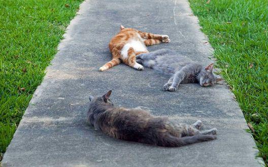 Обои Трое котов валяются на солнышке на дорожке