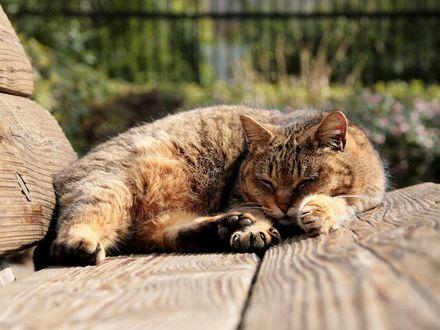 Обои Пушистый толстый кот спит на солнышке
