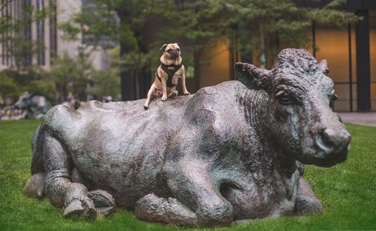 Обои Мопс позирует сверху на статуе быка