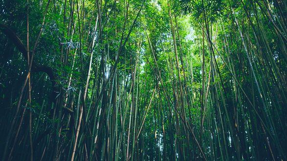 Обои Бамбуковая роща под ясным небом