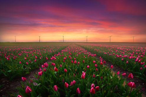 Обои Бесконечное поле тюльпанов в Нидерландах весной, фотограф Albert Dros