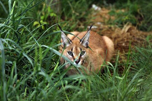 Обои Каракал в зеленой траве, фотограф Jasmine Curtis