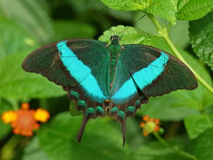 Обои Бабочка на зеленых листьях