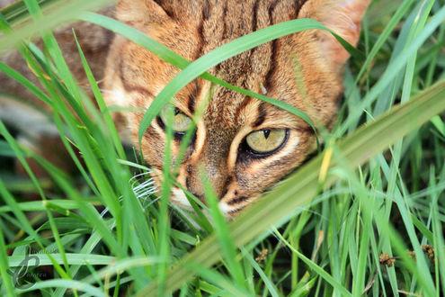 Обои Кот в зеленой траве, фотограф Jasmine Curtis