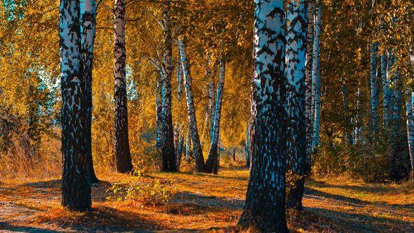 Обои Березовая роща осенью