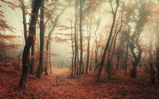 Обои Осенний лес окутанный туманом в Байдарской долине, ВКрым, фотограф Денис Белицкий