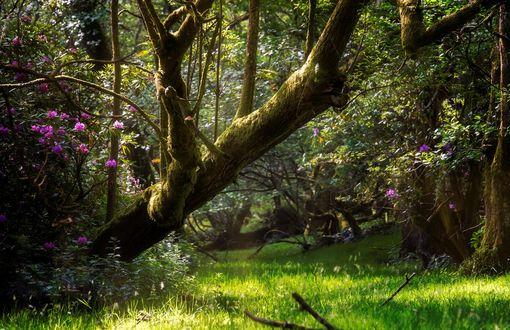 Обои Наклоненное дерево в цветущем лесу, фотограф Rudi Moerkl