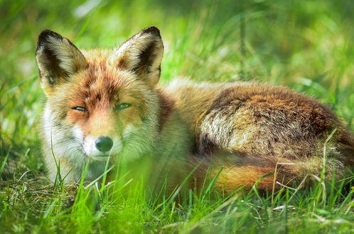 Обои Лиса лежит в траве, фотограф Konsta Punkka