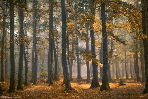 Обои Ранняя осень в лесу, фотограф Patrice Thomas