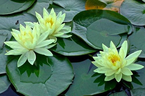 Обои Желтые кувшинки на больших зеленых листьях, фотограф Glo