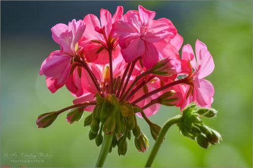 Обои Цветущая розовая герань, фотограф Optina