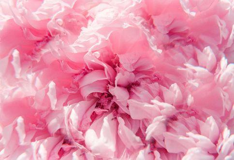 Обои Розовые розы в воде, фотограф Hayden Williams