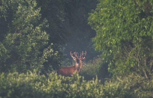 Обои Олени в лесу. Фотограф Андрей Шимчук