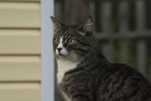 Обои Серый кот стоит у угла дома, фотограф Марина Никулина