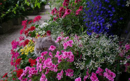 Обои Серый персидский кот спрятался на клумбе с разноцветными геранями