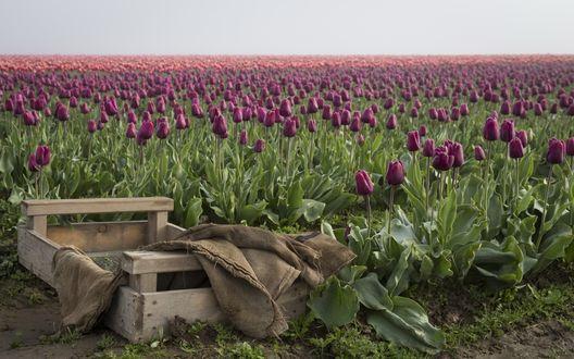 Обои Деревянный ящик с мешковиной лежит на краю поля лиловых тюльпанов