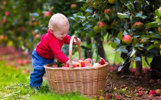 Обои Маленький мальчик улыбаясь запустил руки в большую корзину с красными яблоками, стоящую под яблоней