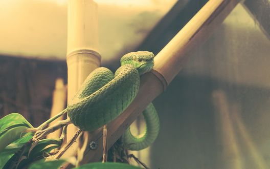 Обои Зеленая древесная змея в террариуме обвилась вокруг ствола дерева