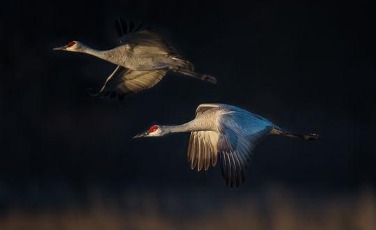 Обои Канадские журавли летят на фоне размытого вечернего неба, фотограф Diana Robinson