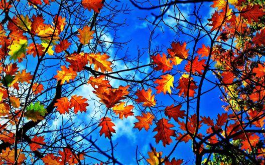 Обои Золотые осенние листья на фоне голубого неба, фотограф Usuf Islam