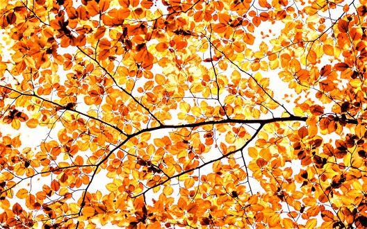 Обои Крона дерева с золотыми листочками, фотограф Rob Blanken