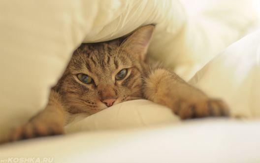 Обои Серый кот под одеялом