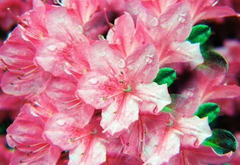Обои Розовые цветы в каплях дождя, фотограф Hayden Williams