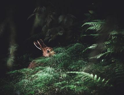 Обои Кролик в лесной чаще, фотограф Niilo Isotalo