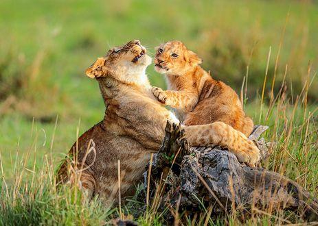 Обои Львица играет с львенком на природе