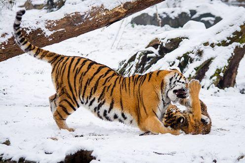 Обои Тигрица играет со своим детенышем