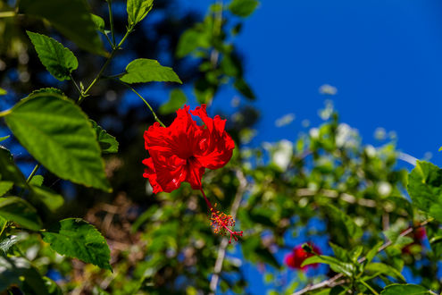 Обои Цветок красного гибискуса, фотограф Elena
