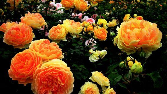 Обои Большие желтые розы крупным планом