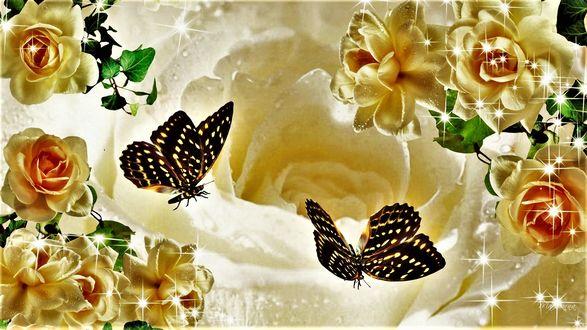 Обои Желтые розы и бабочки на фоне чайной розы