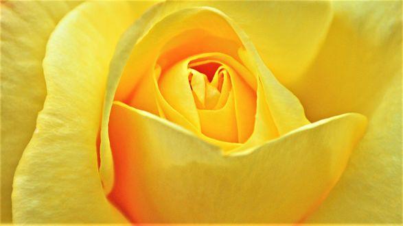 Обои Желтая роза крупным планом