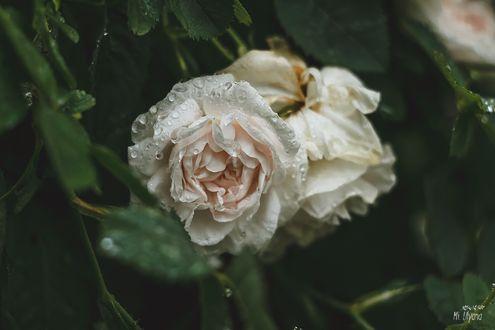 Обои Белые розы в каплях росы, фотограф Ulyana Mizinova