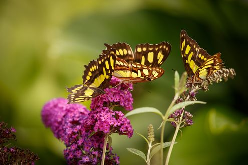 Обои Бабочки махаоны сидят на сирени, размытый фон