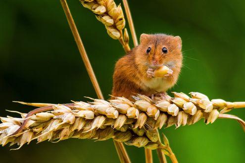 Обои Полевка сидит на колосе и ест зерно