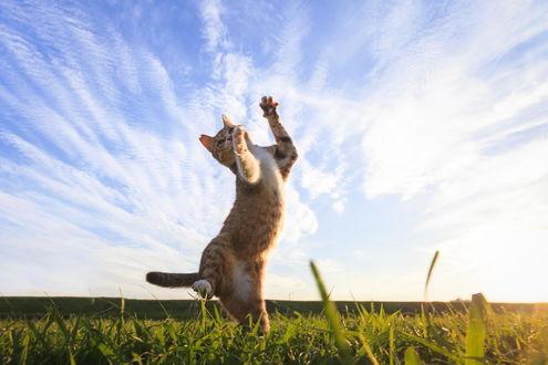 Обои Полосатая кошка играет на поляне под ясным небом