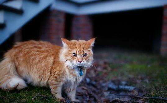 Обои Рыжий кот в ошейнике гуляет возле дома